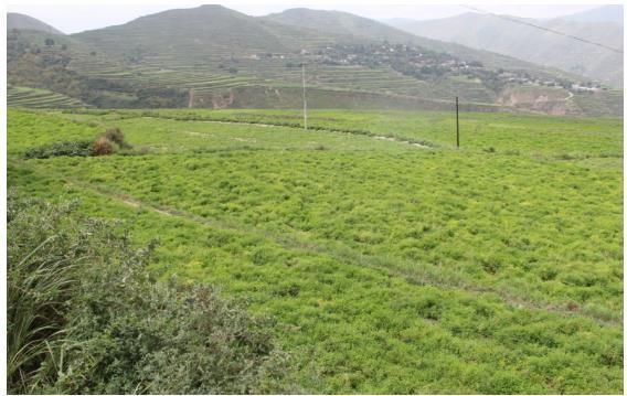 白塔村地势较高区域,黄芪育苗面积较大