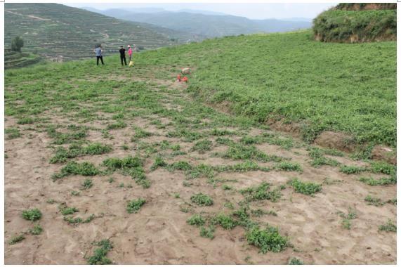此块地种植户反映,右侧党参地有坡度,左侧地较平缓。 近期的降雨,右侧党参能坡度排水,长势正常。左侧党参地里出现积水,导致党参死苗严重。