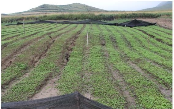 新开垦的山地,用于当归育苗